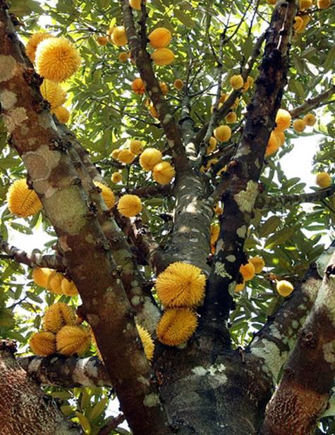 20131002_Colorful Durian in Malaysia_001