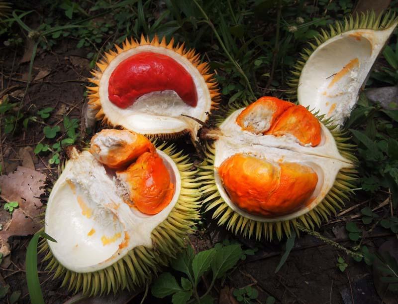 20131002_Colorful Durian in Malaysia_006