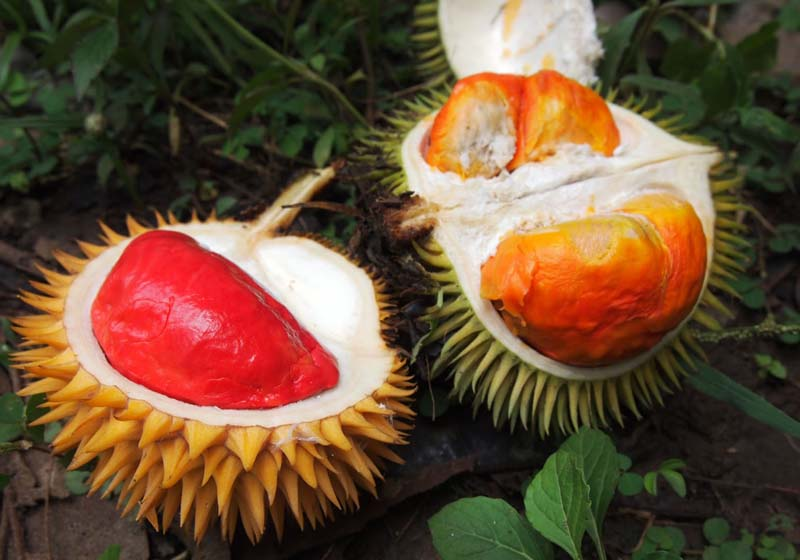 20131002_Colorful Durian in Malaysia_007