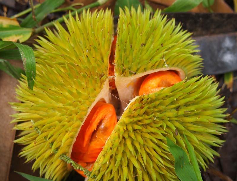 20131002_Colorful Durian in Malaysia_010